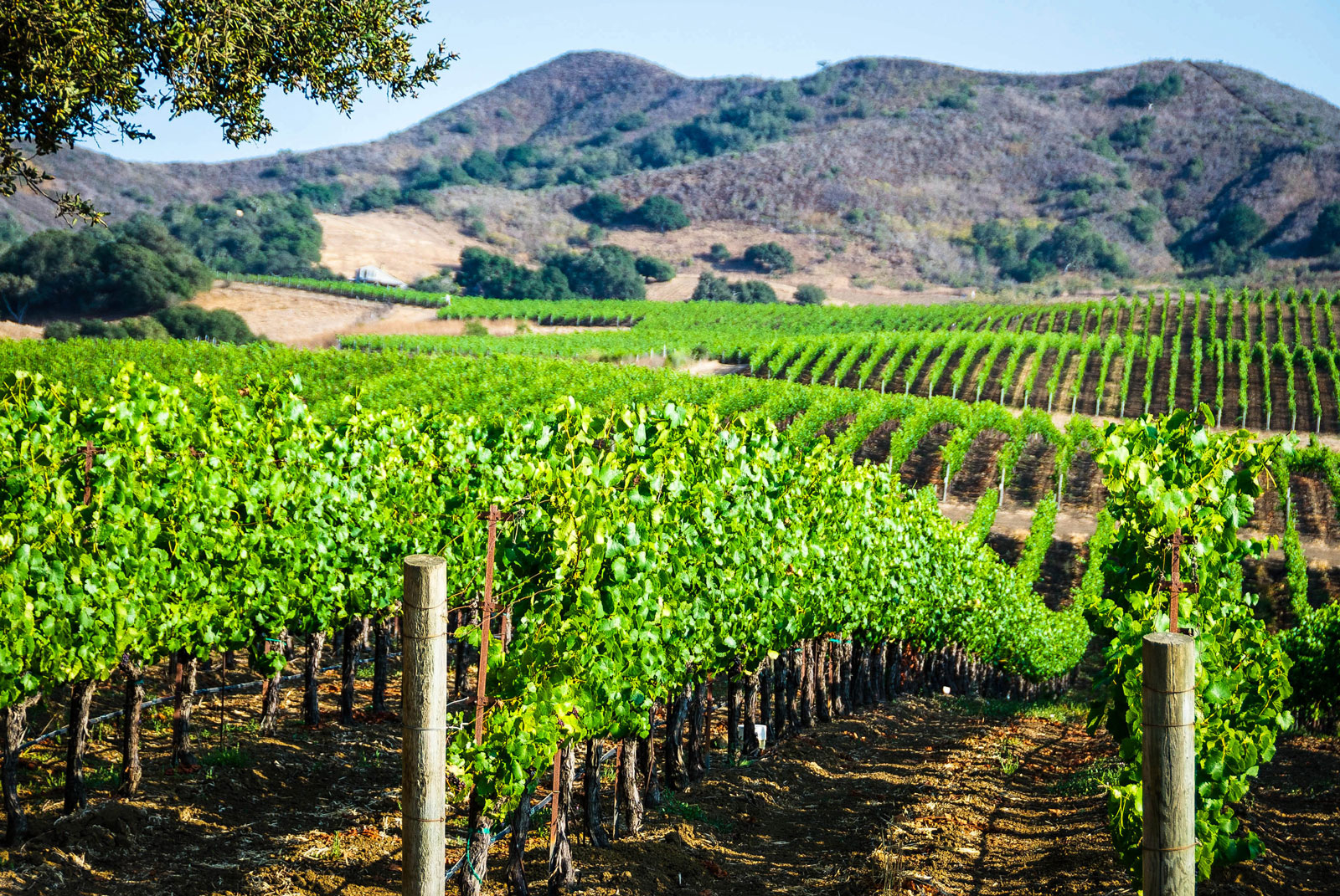 Vineyard in Santa Barbara County