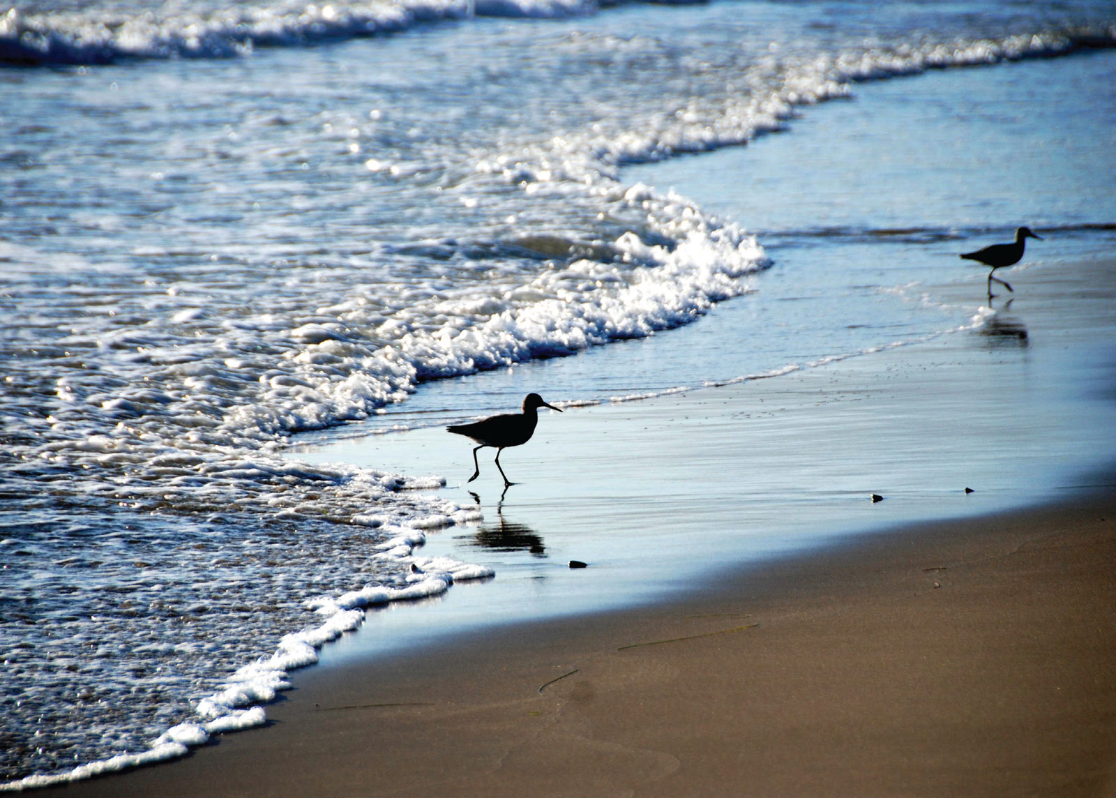 Willets in the surf, Santa Barbara, California