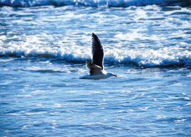 Seagull cruising the beach, Santa Barbara, California