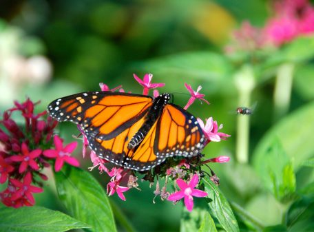 Monarch Butterfly at the Butterflies Alive! Exhibit Santa Barbara Museum of Natural History