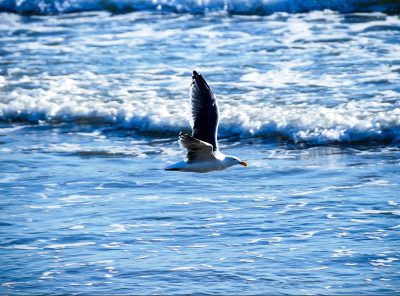 Seagull cruising the beach, Santa Barbara, California