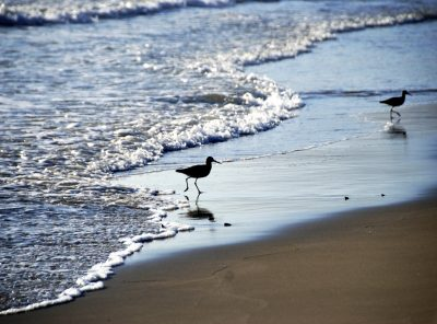 Willets in the surf Santa Barbara, California
