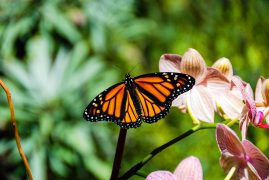 Monarch Butterfly on a Phalaenopsis Orchid