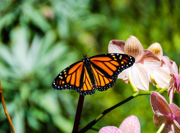 Monarch butterfly on dendrobium