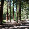 The Redwood Grove at Santa Barbara Botanic Gardens postcard