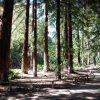 The Redwood Grove at Santa Barbara Botanic Gardens postcard
