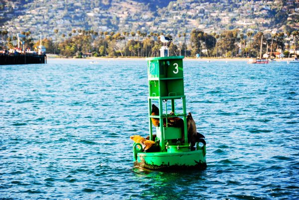 Sea lions resting on Buoy 3 in Santa Barbara