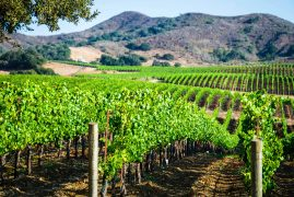 One of over 100 vineyards in Santa Barbara County