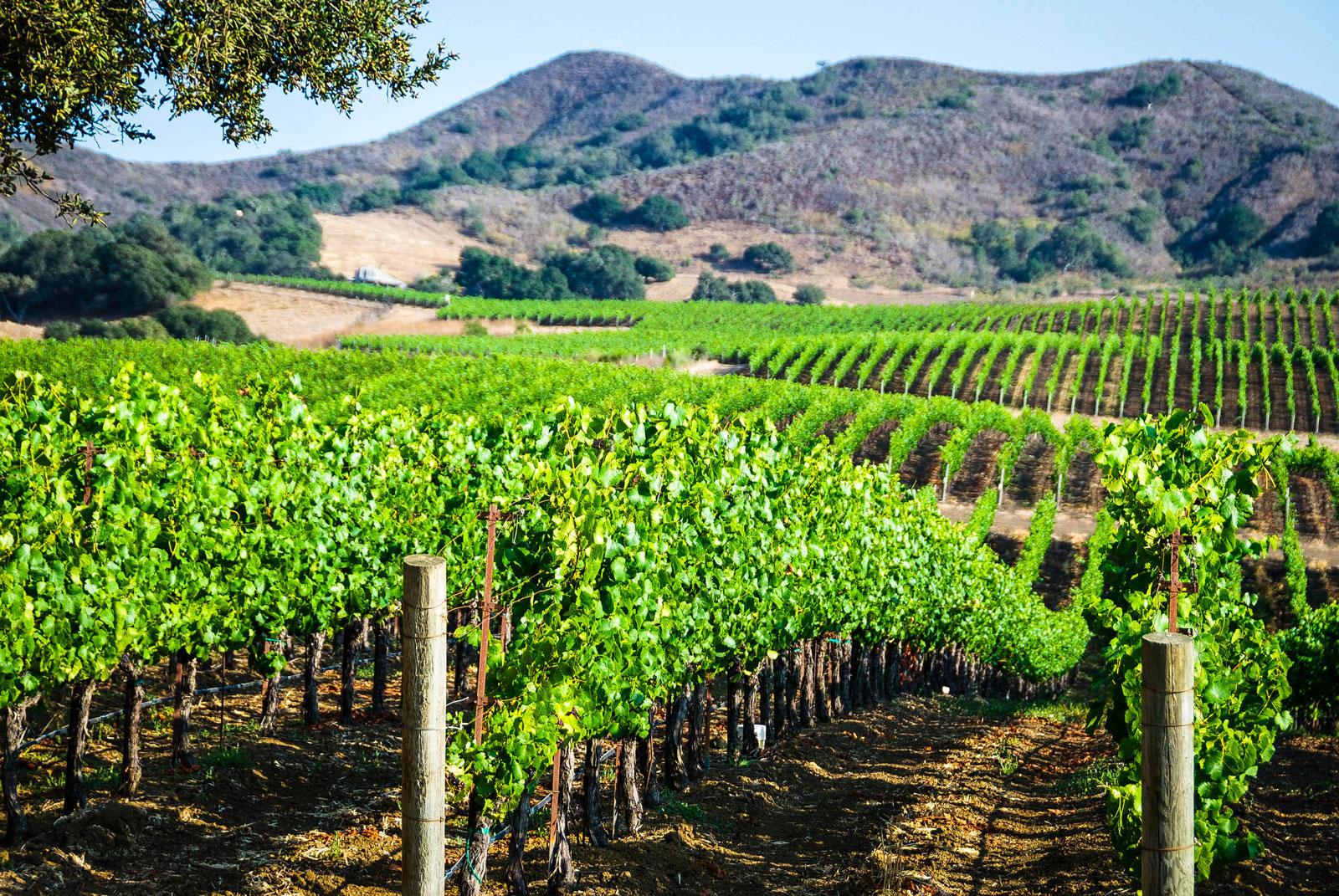 Vineyard in Santa Barbara County