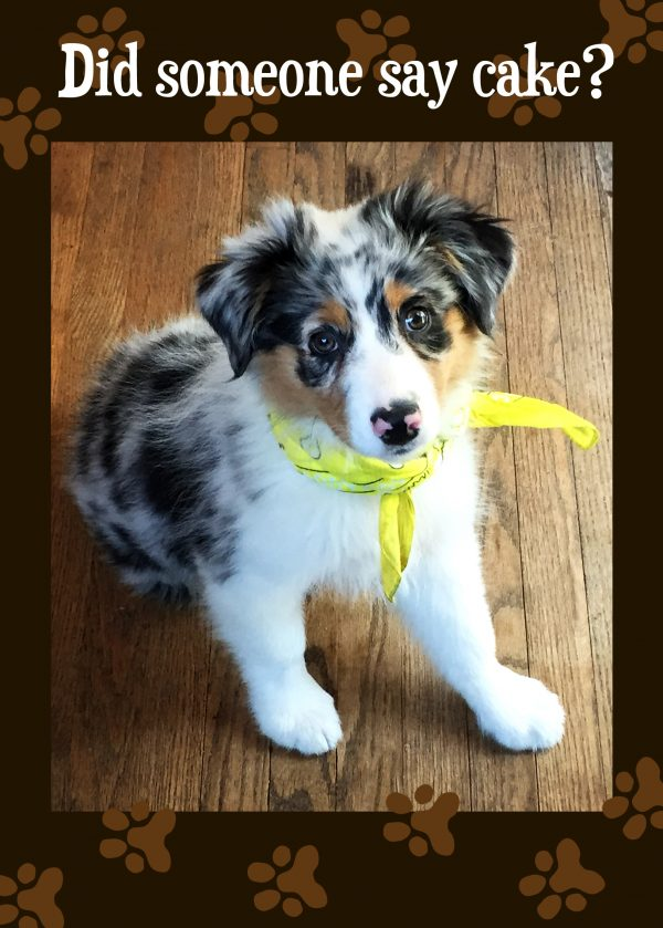 Did Someone Say Cake Australian Shepherd Puppy Birthday Card